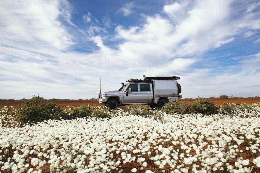 White Everlastings wildflowers