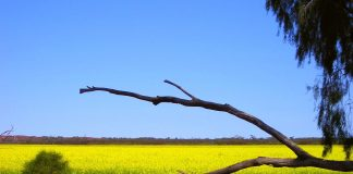 Canola Field near Mukinbudin